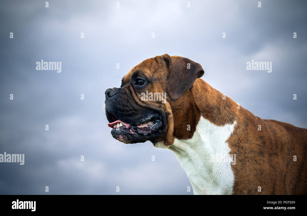close up portrait of a dog breed of a german boxer against a gray blue sky background dark photo clouds and bright dog coloring intelligent look PGTE69
