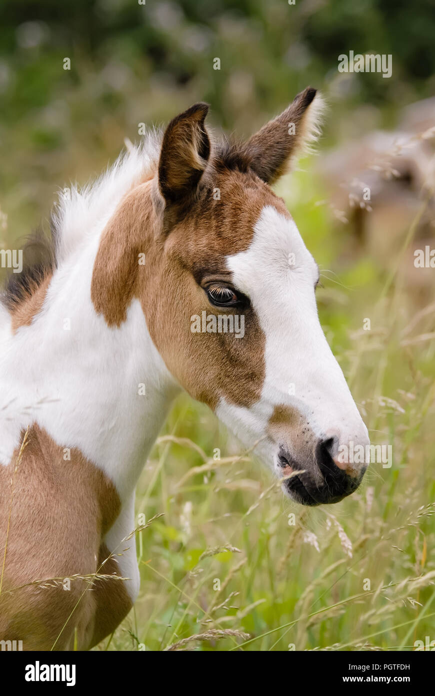 A cute young pony foal head portrait, coat color pinto with tobiano patterns also called skewbald Stock Photo