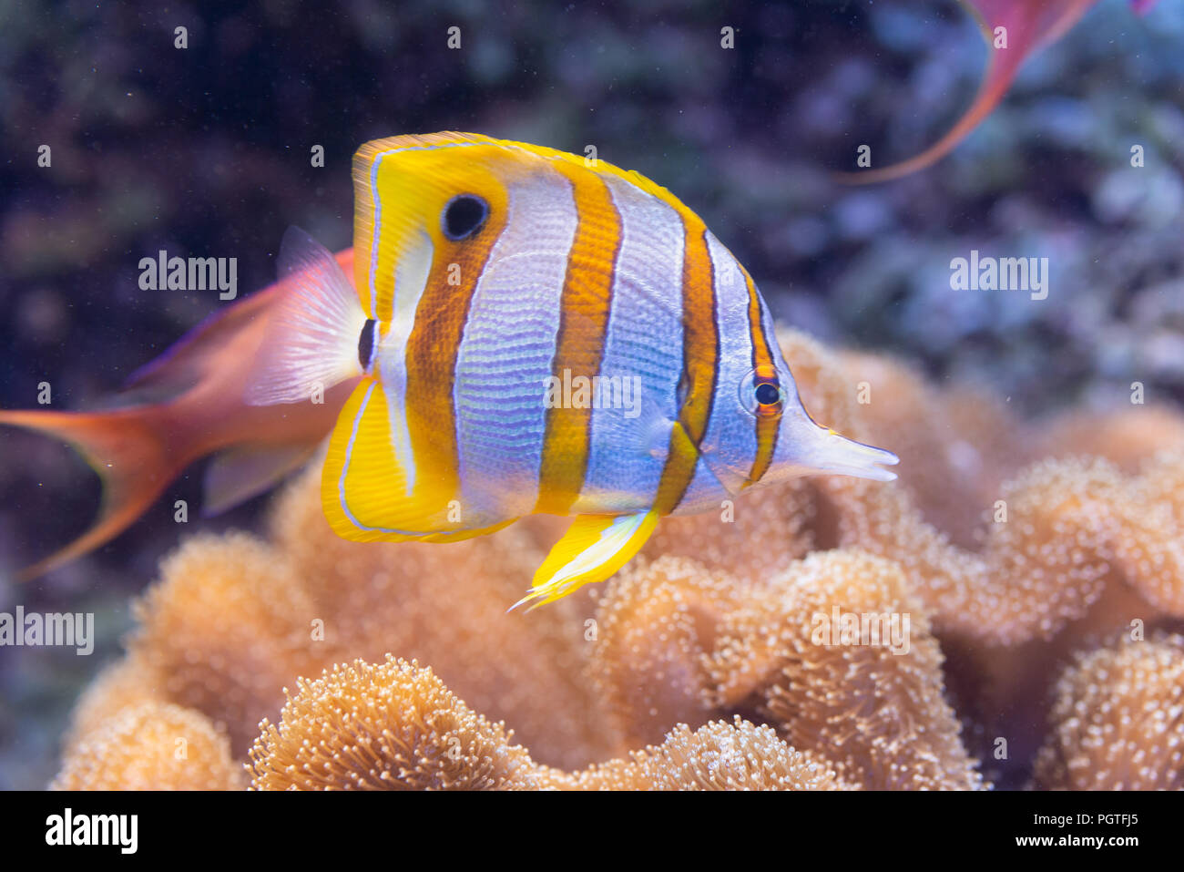 fish Chelmon rostratus, Banded Longsnout Butterflyfish - Stock Image