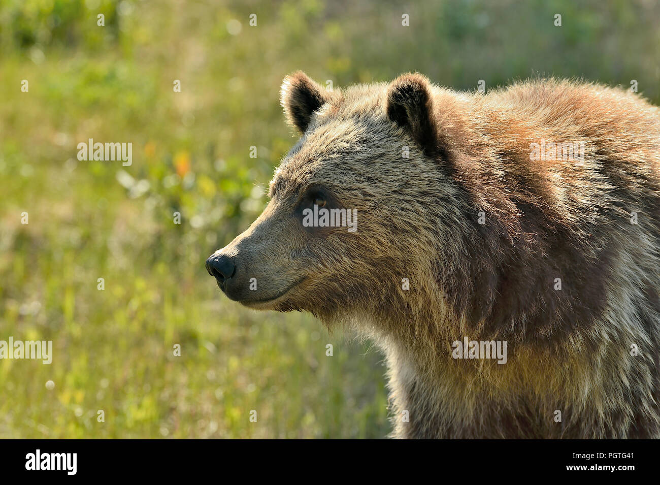 A close up portrait image of a young grizzly bear  (Ursus arctos); in rural Alberta Canada. Stock Photo