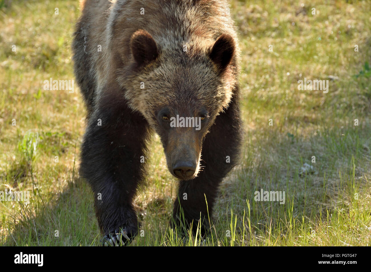 A close up image of a juvenile male grizzly bear  (Ursus arctos); walking forward with his head down in an intimidating manner - Stock Image