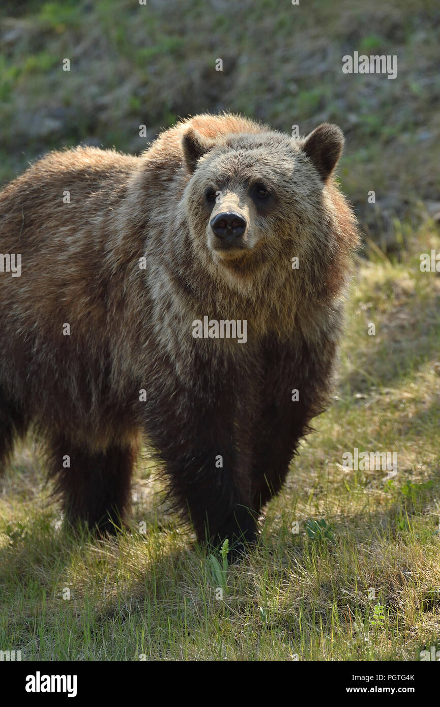 A close up image of a juvenile male grizzly bear  (Ursus arctos); walking forward in rural Alberta Canada Stock Photo