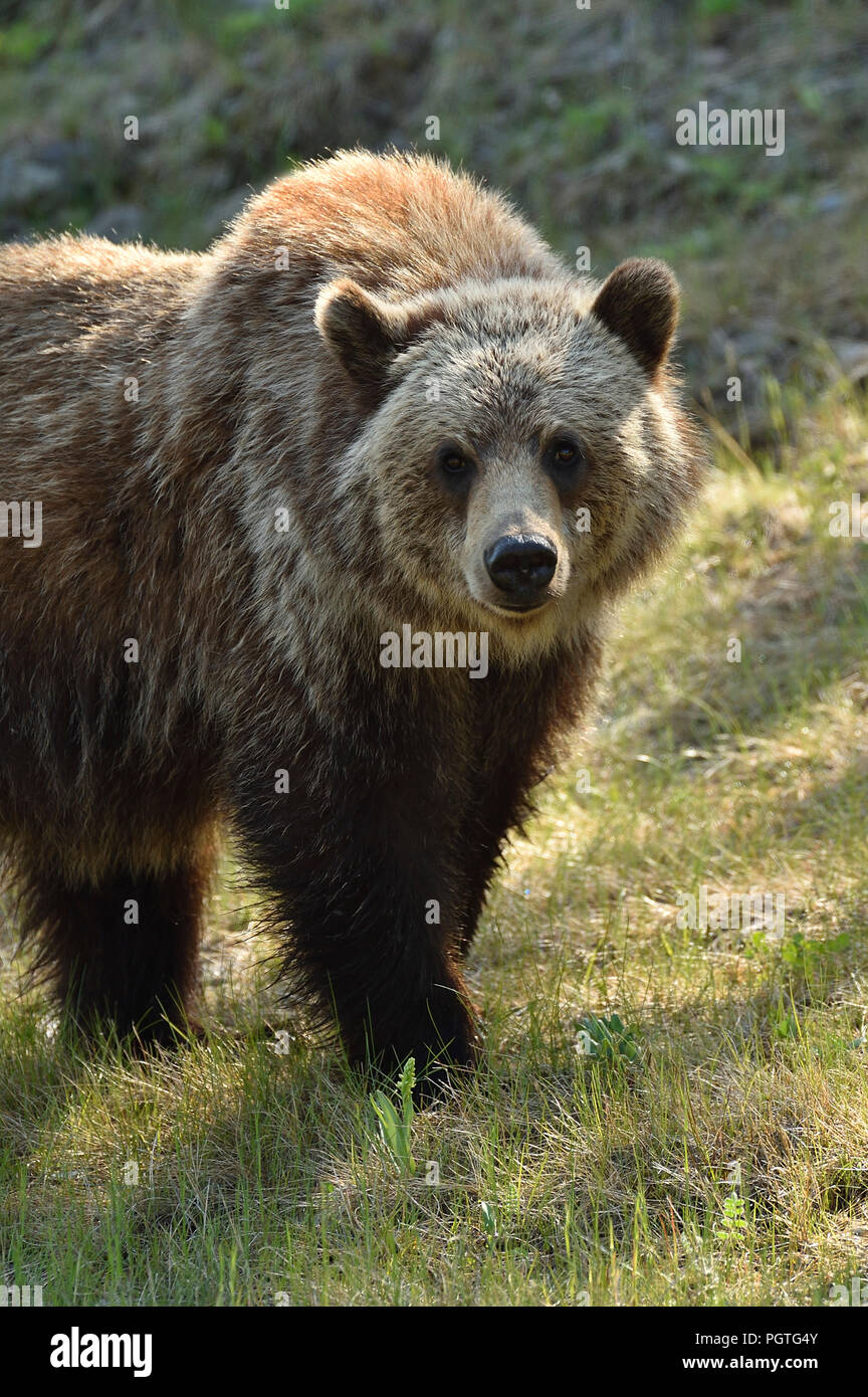 Grizzly bear walking - photo#47