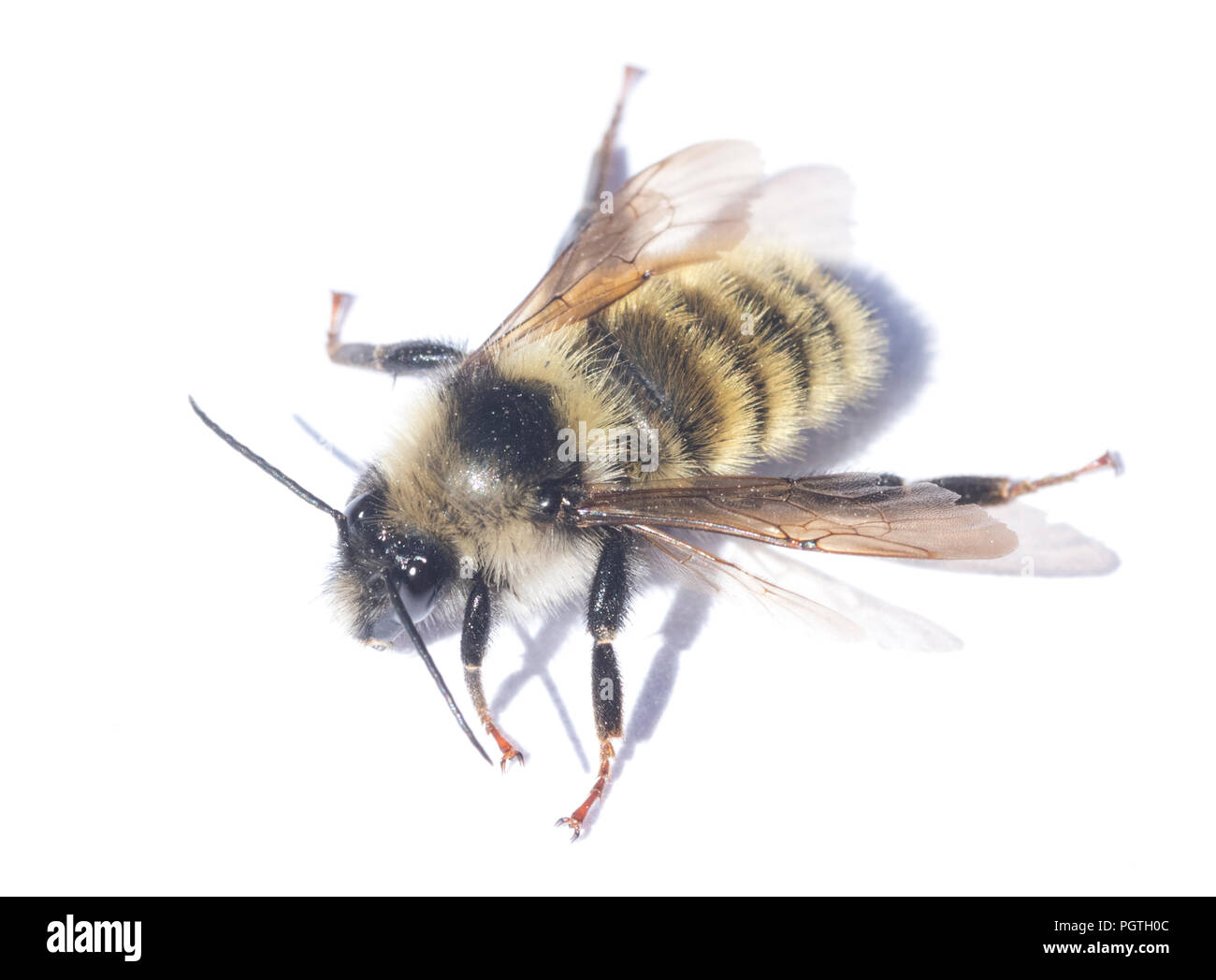 White-shouldered Bumblebee (Bombus appositus)  Olympic National Park, Washington - Stock Image