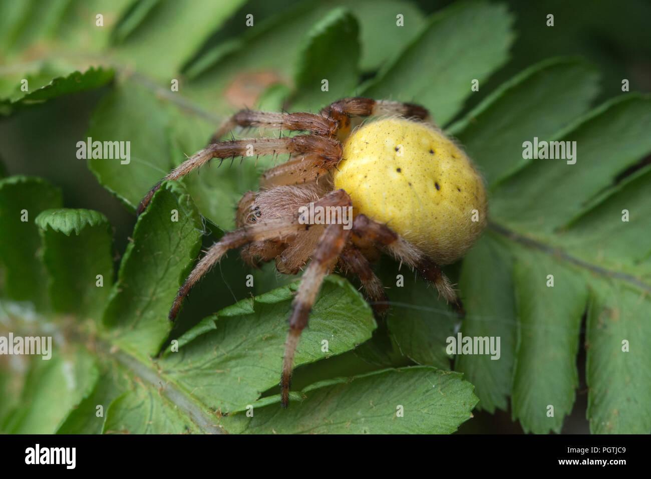 Colourful four-spotted orb weaver spider (Araneus quadratus) male on bracken in Surrey, UK - Stock Image