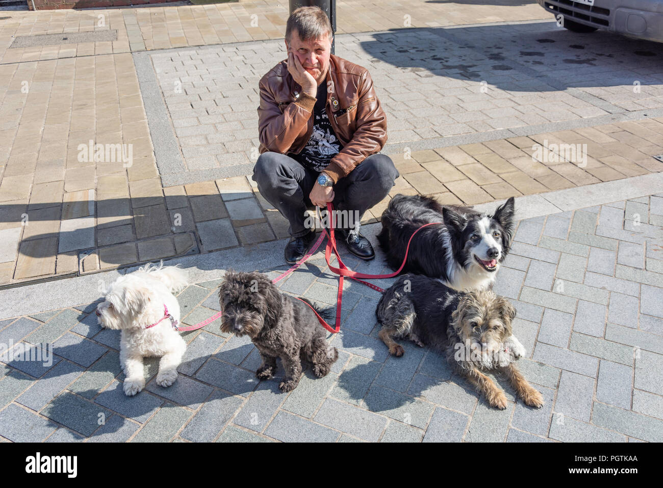 Dog walker with dogs on leashes, High Street, Bromsgrove, Worcestershire, England, United Kingdom - Stock Image