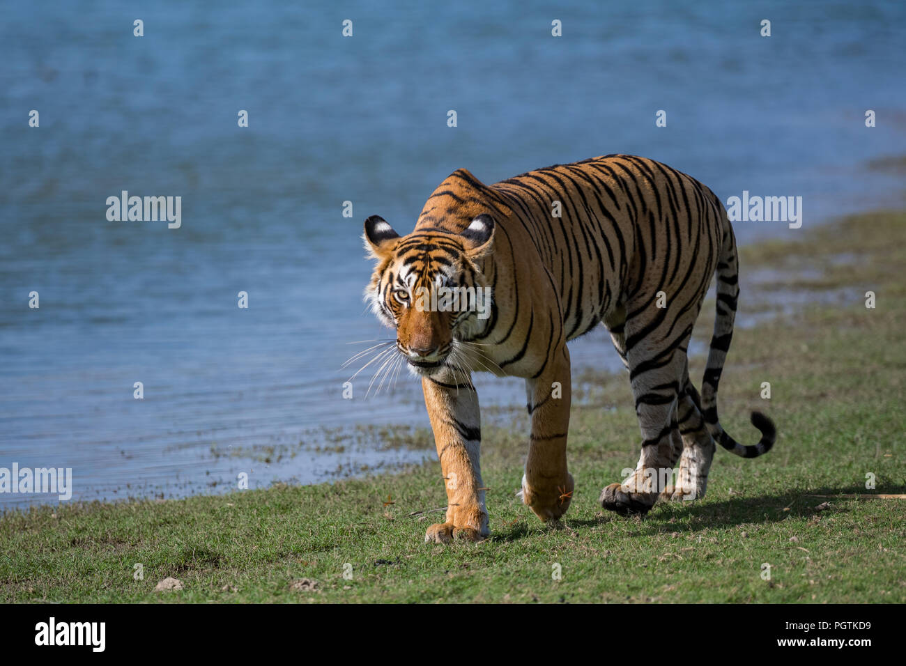 A tigress from ranthambore tiger reserve roaming beside a