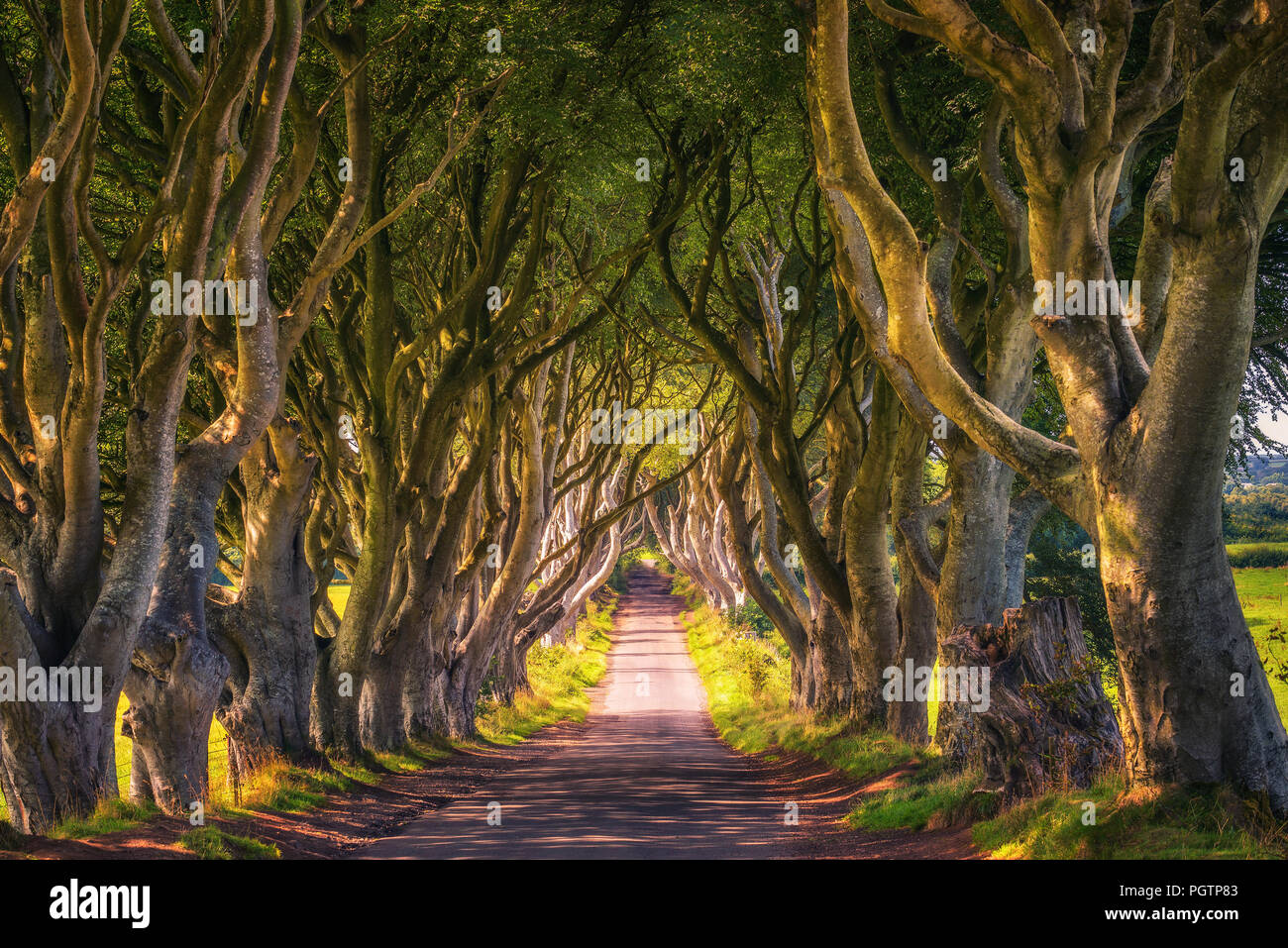 The Dark Hedges in Northern Ireland at sunset - Stock Image