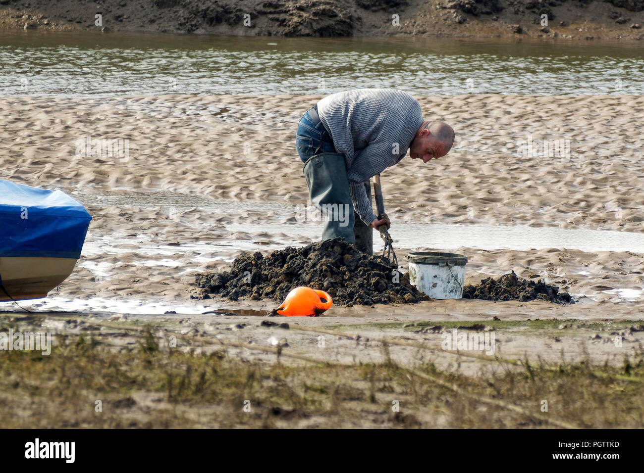 Man digging for lugworms at low tide - Stock Image