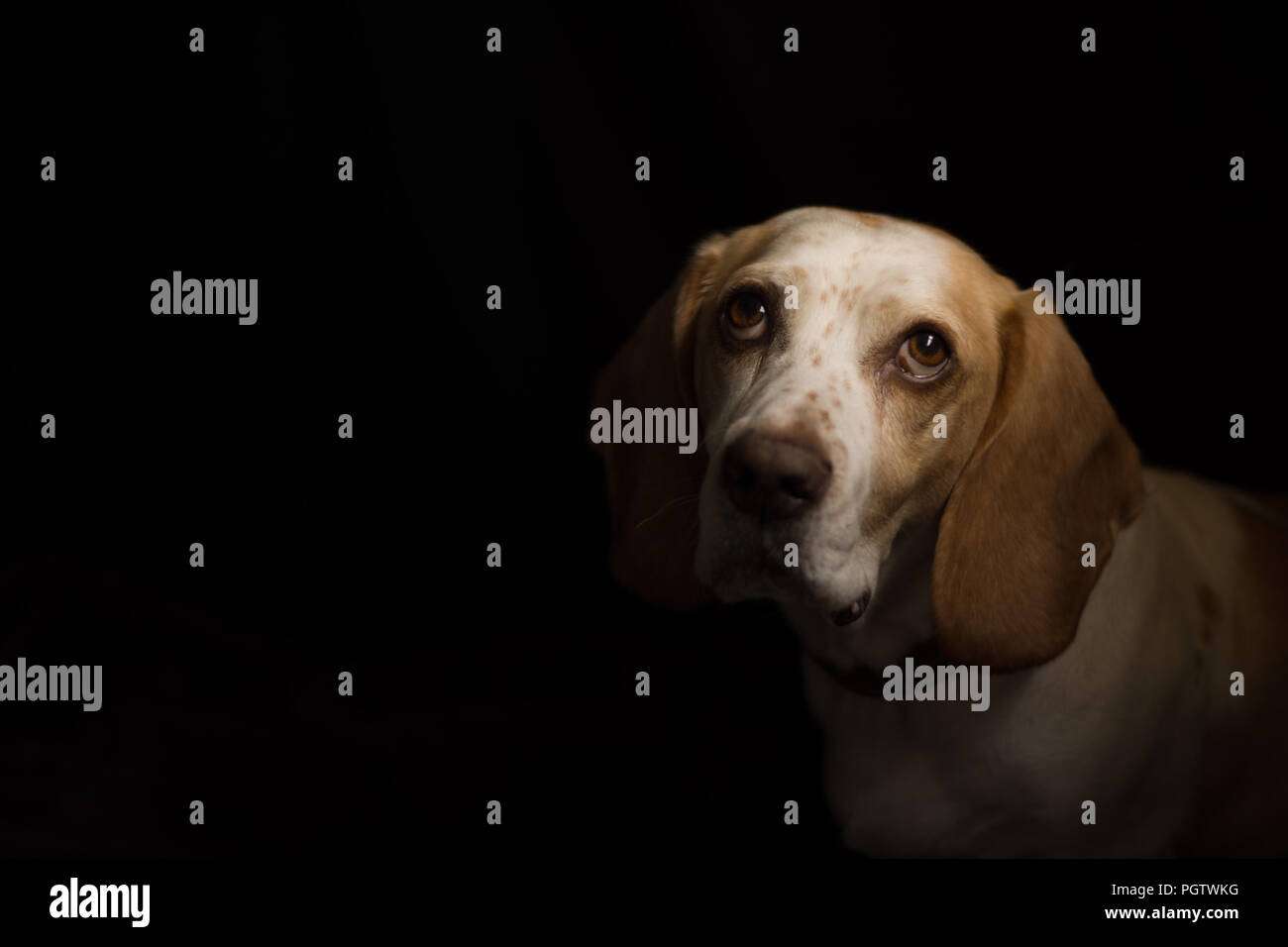 white and tan medium sized dog looking up with big brown eyes with a black back ground Stock Photo