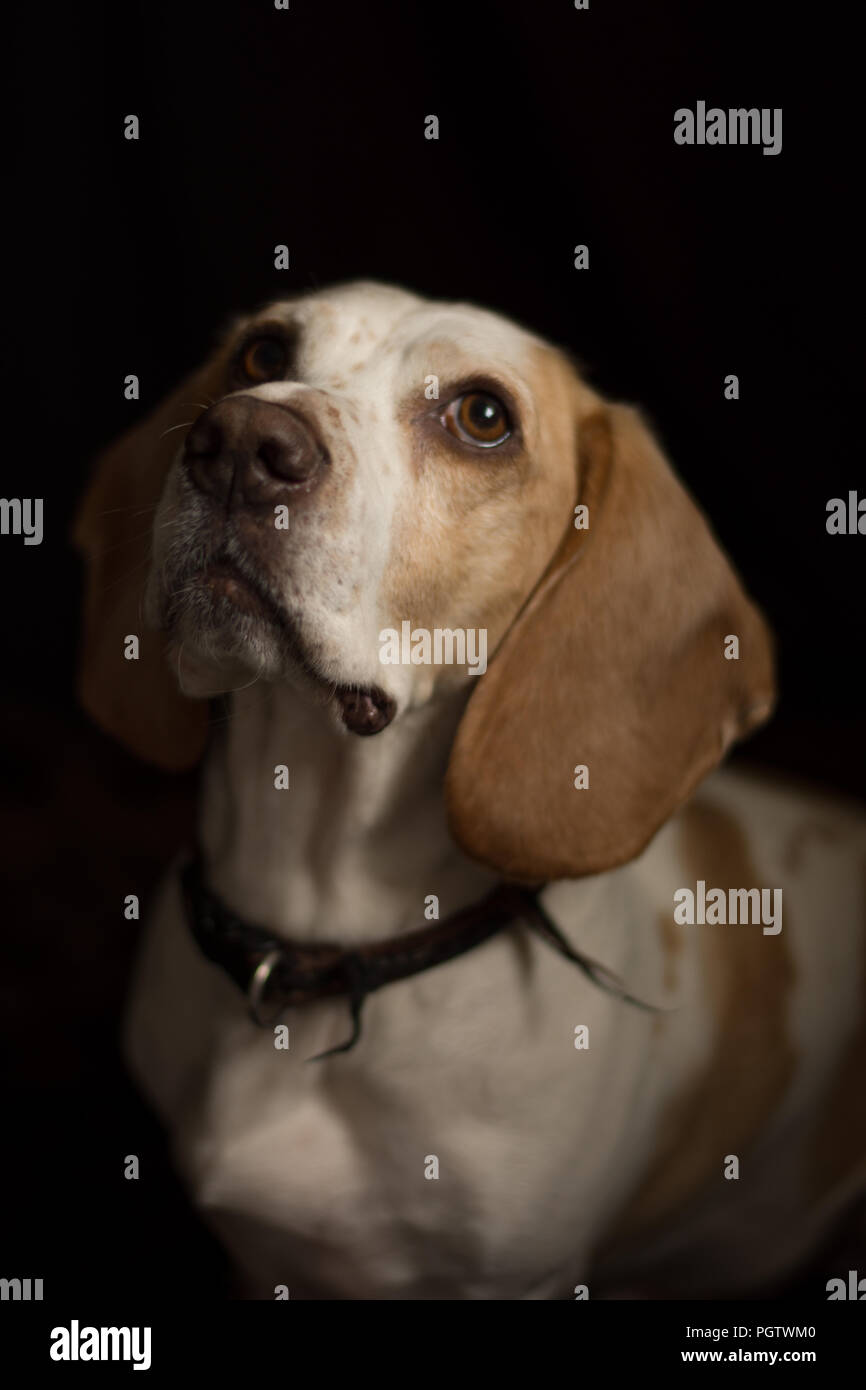 white and light brown dog with floppy ears looking up with black back ground - Stock Image