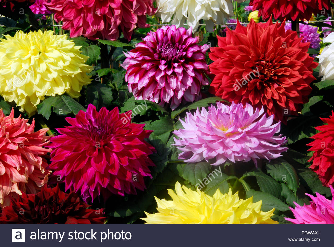group of dahlia flowers blooming in different colors Stock Photo