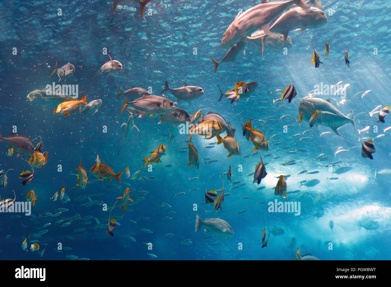 Lisbon, Portugal - March 3, 2014: Colorful tropical fishes of the Lisbon Oceanarium during nourishment - Stock Image