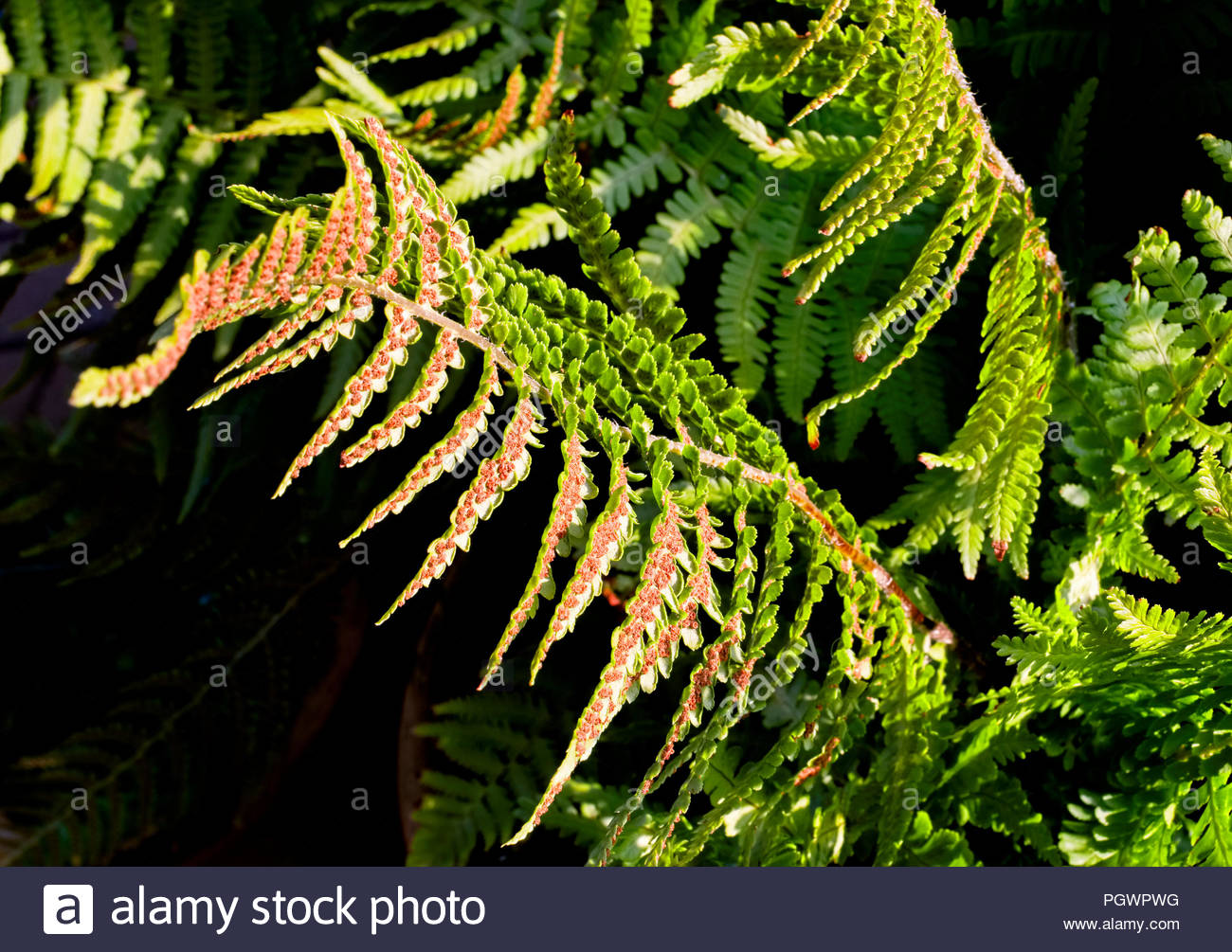 Seeds of fern (Matteuccia struthiopteris) growing on the underside of its fronds - Stock Image