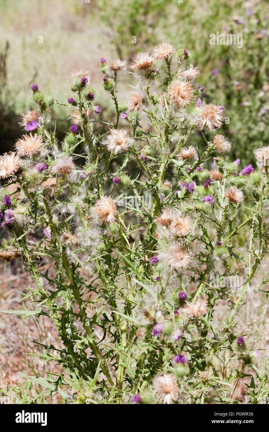 Cotton thistle, aka Scotch thistle, Wolly thistle, Winged thistle, Jackass thistle, Heraldic thistle (Onopordum acanthium), plant - California USA - Stock Image