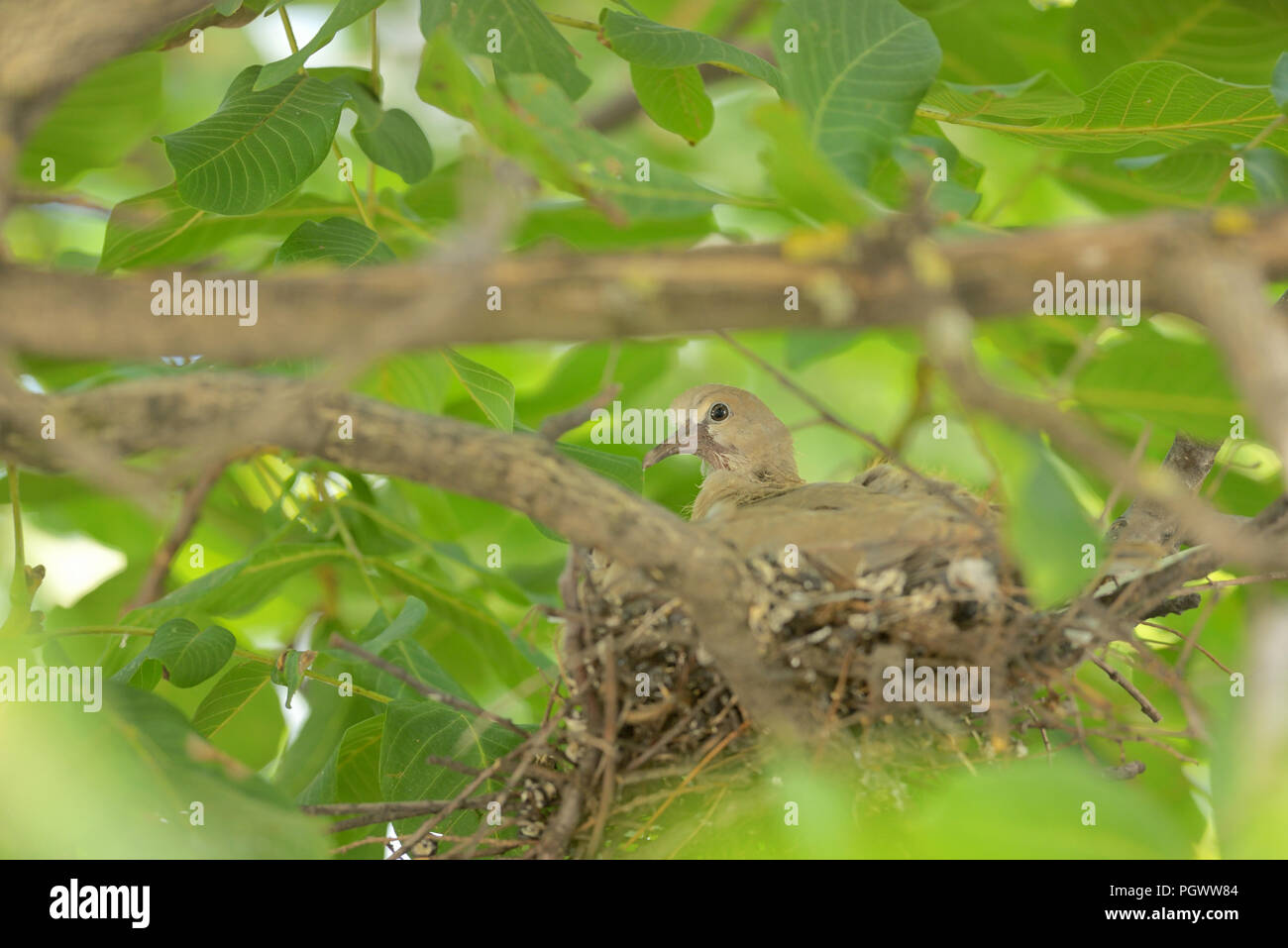 Young one dove Streptopelia decaocto in nest - Stock Image