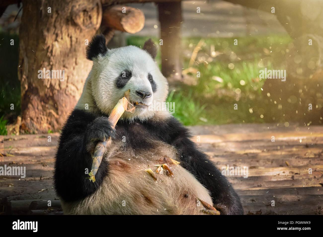 Giant panda bear in China - Stock Image