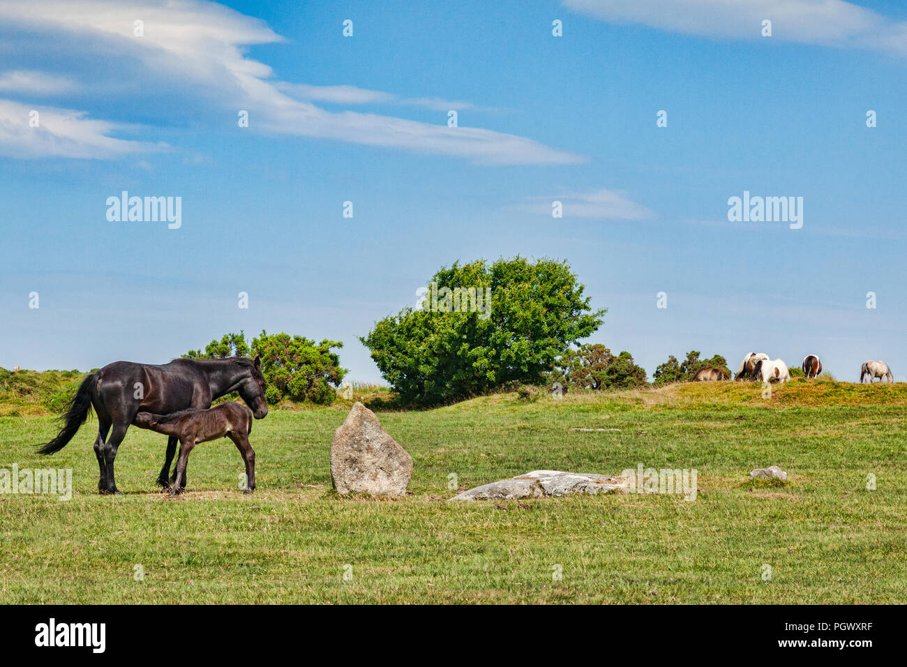 Wild ponies grazing on Bodmin Moor at The Hurlers stone circlre near Minions, the highest village in Cornwall,  with mare feeding foal, Cornwall, UK. Stock Photo