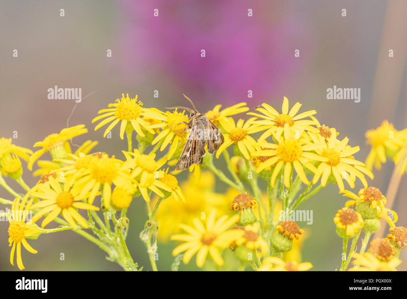 An antler moth (Cerapteryx graminis) on the yellow flowers of ragwort. - Stock Image