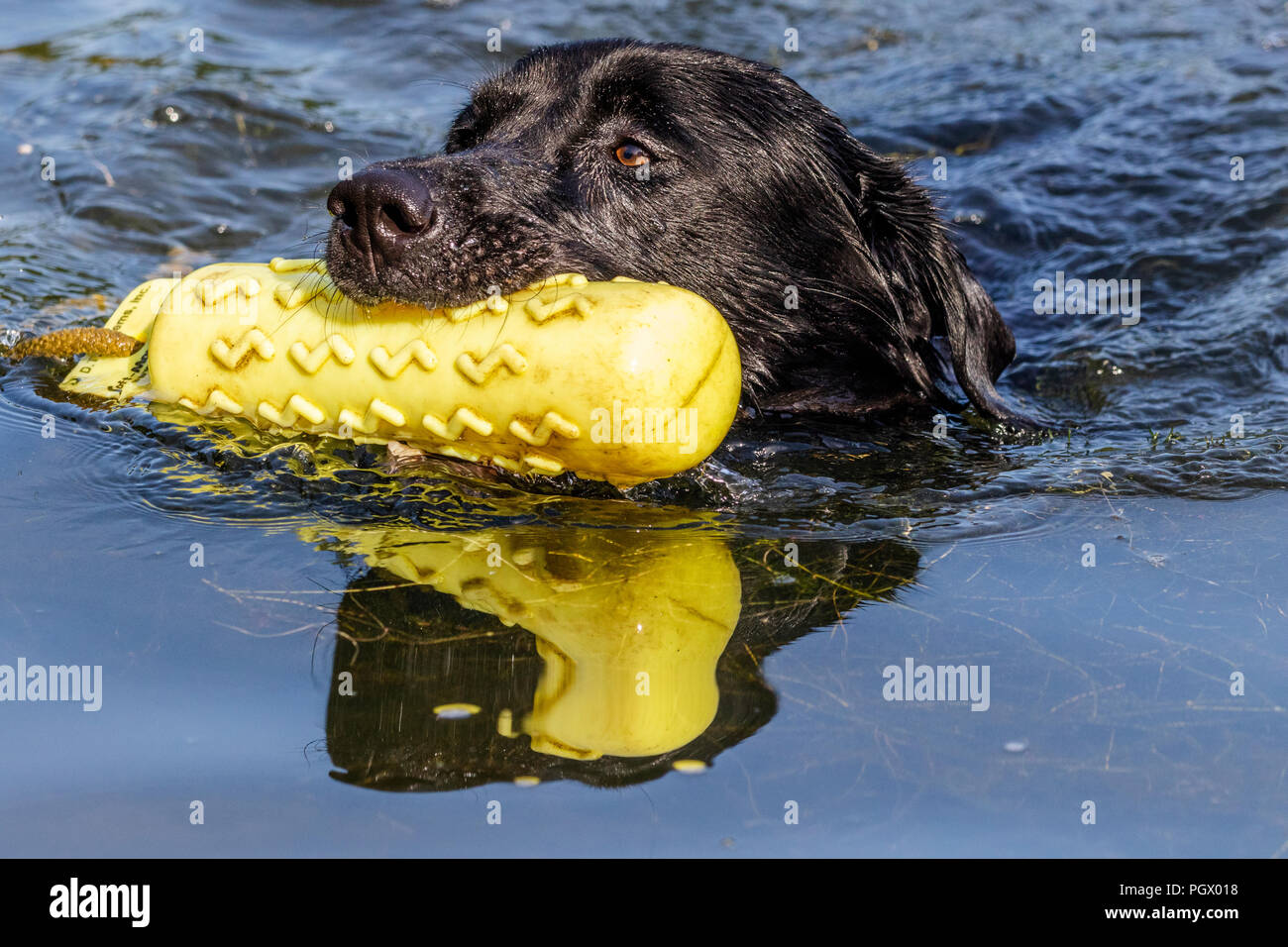 A black labrador swims with a gundog dummy in his mouth. - Stock Image
