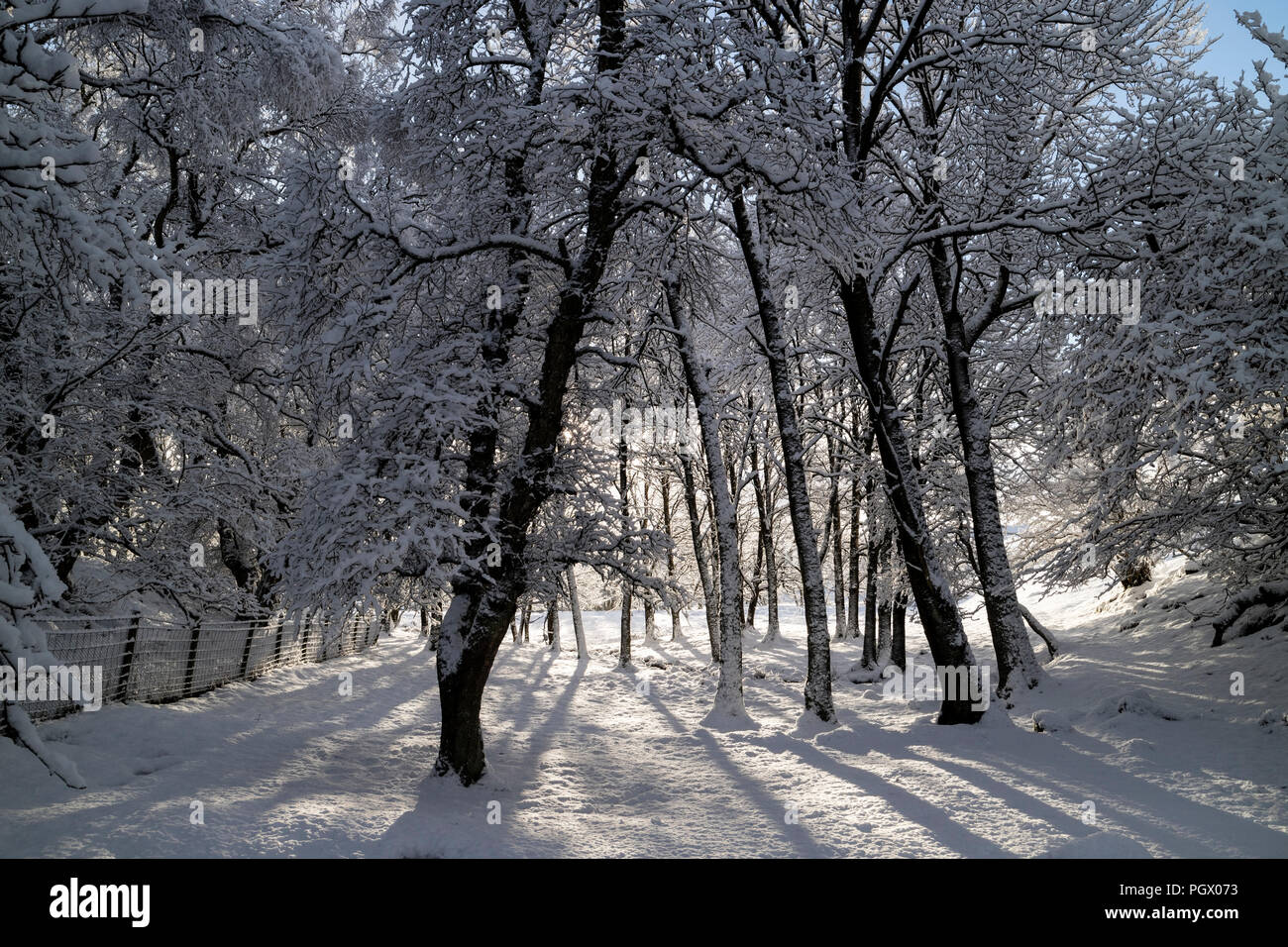 Snow Covered Trees in a North Pennine Woodland, Teesdale, County Durham, UK Stock Photo