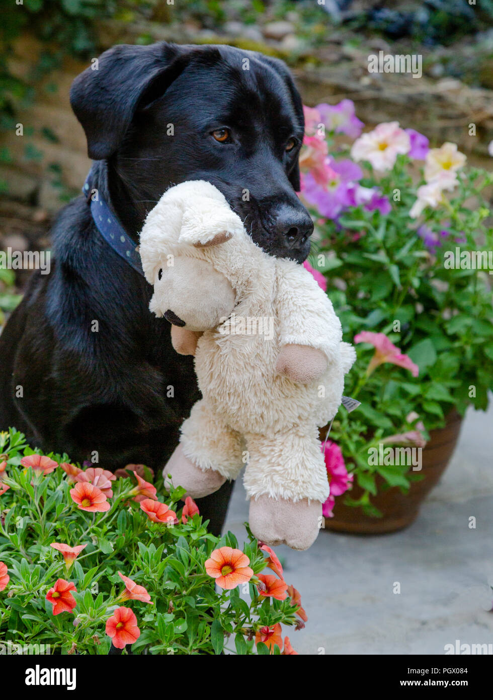 A black labrador, sitting amongst flowering garden tubs,  holds a cuddly toy in his mouth. Stock Photo