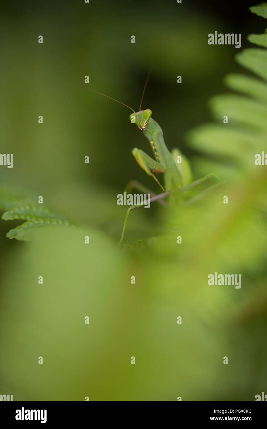 Sphodromantis viridis is a species of praying mantis that is kept worldwide as a pet. Its common names include African mantis, giant African mantis, a Stock Photo