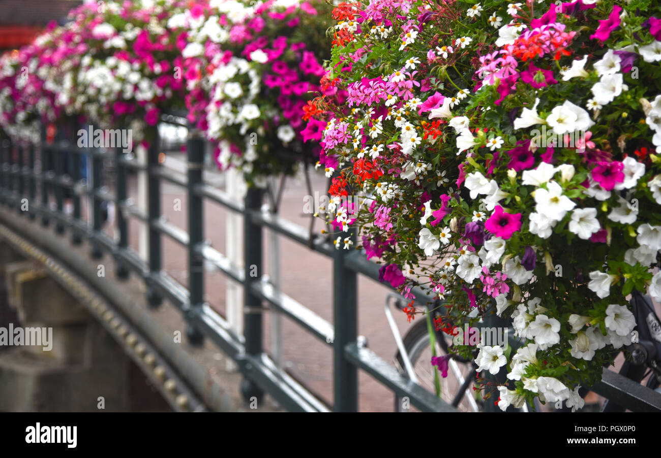 pink and white flowers in flower boxes on a bridge. Photographed in Amsterdam in August - Stock Image