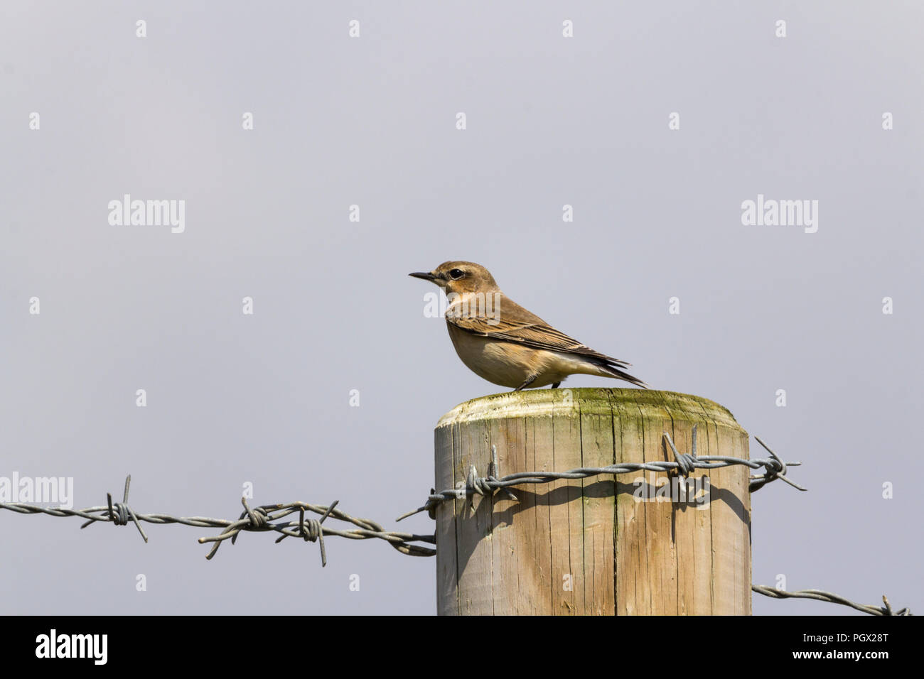 Wheatear (Oenanthe oenanthe) perched on wooden fence post at Seaford UK. A summer migrant with pale stripe over eye female plumage. - Stock Image