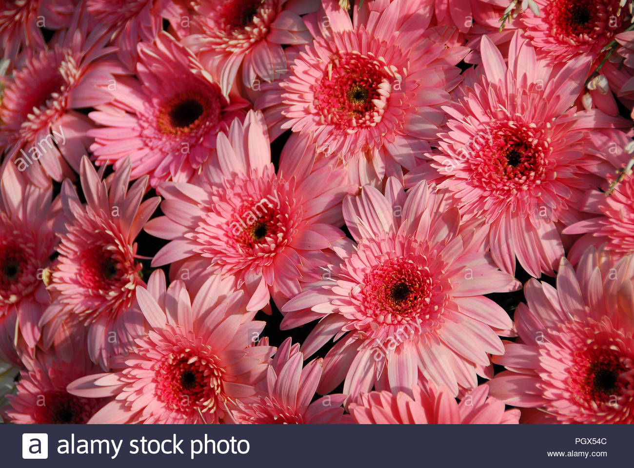 Cluster Of Pink Gerbera Daisy Flowers In Bloom Stock Photo