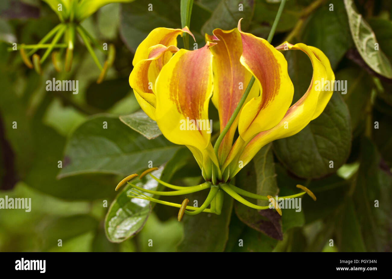 The Flame Lily is the National Flower of Zimbabwe and comes in a wide variety of colours, from pale yellow to a deep rich maroon and a widelyy used in - Stock Image