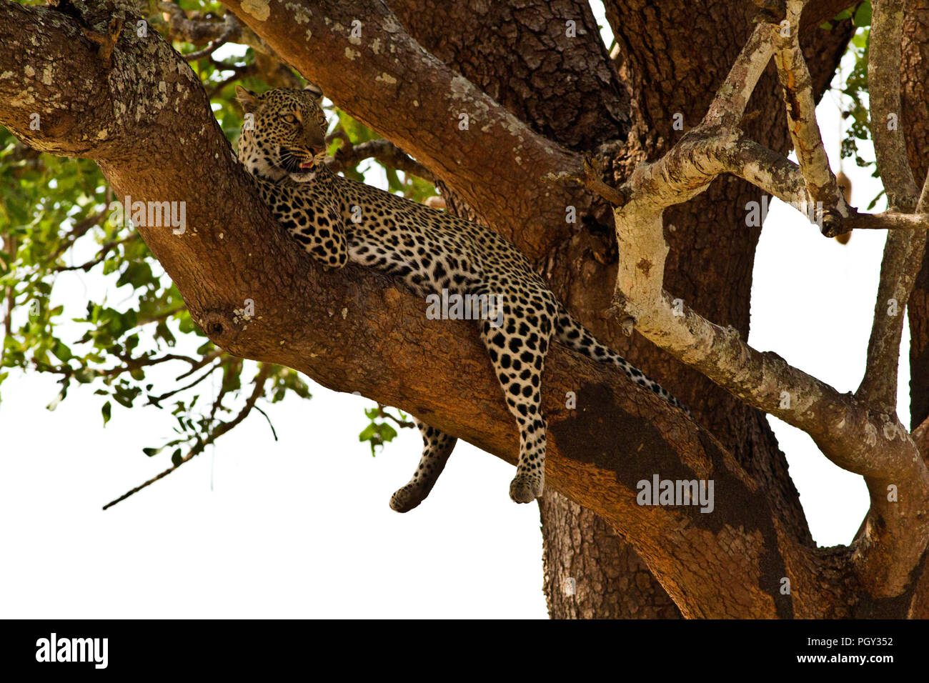 A female leopard looks out over her territory from the vantage of a shady sausage tree. - Stock Image