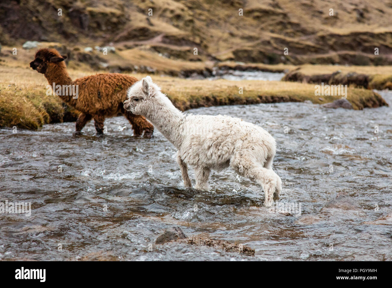 Young Llamas crossing a river near the Quechuan village of Cancha Cancha in the Lares Valley, along the Lares Trek, near Machu Picchu, Peru Stock Photo