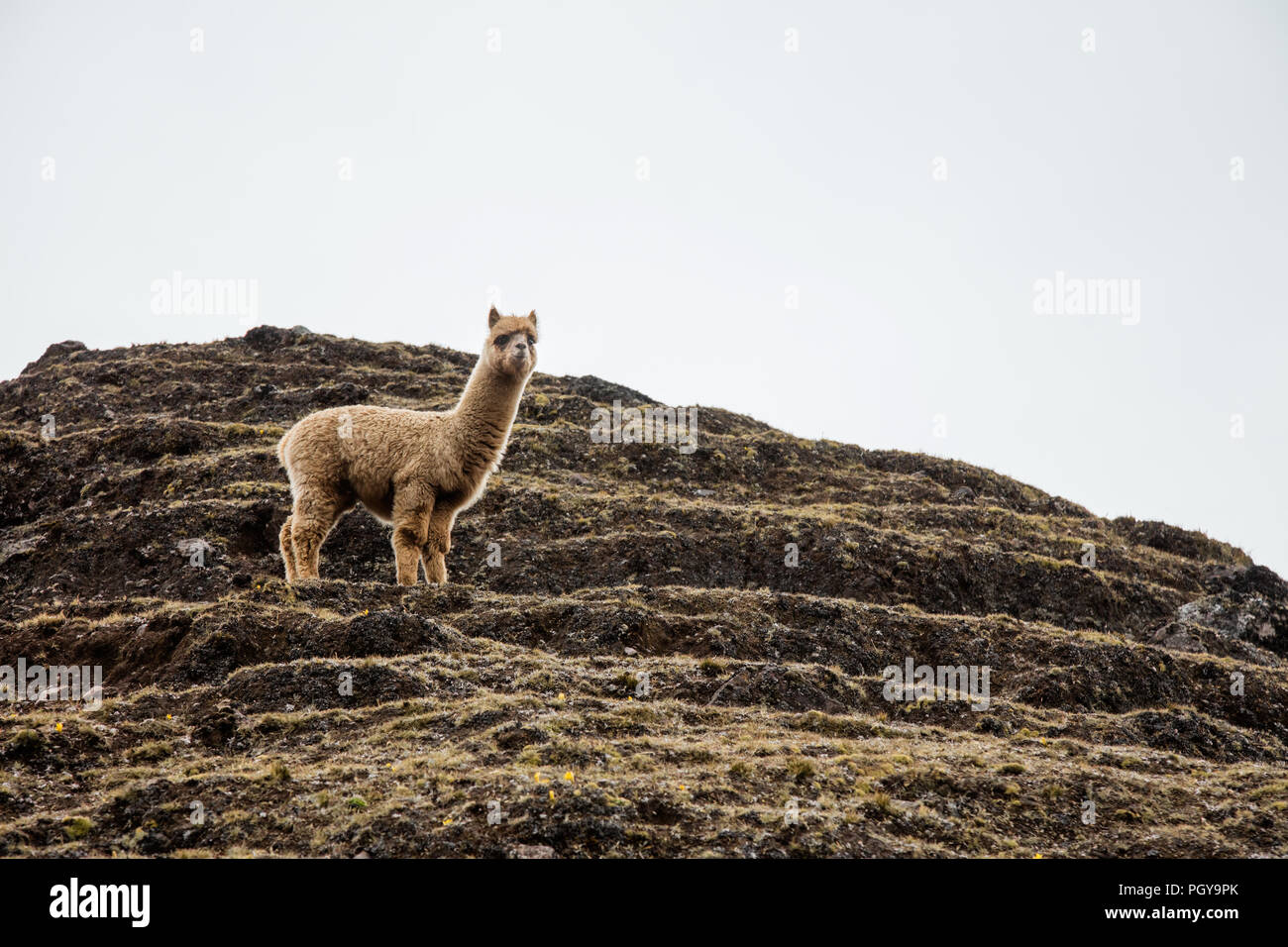 Young Llama on hill in the Lares Valley, near Machu Picchu, Peru - Stock Image