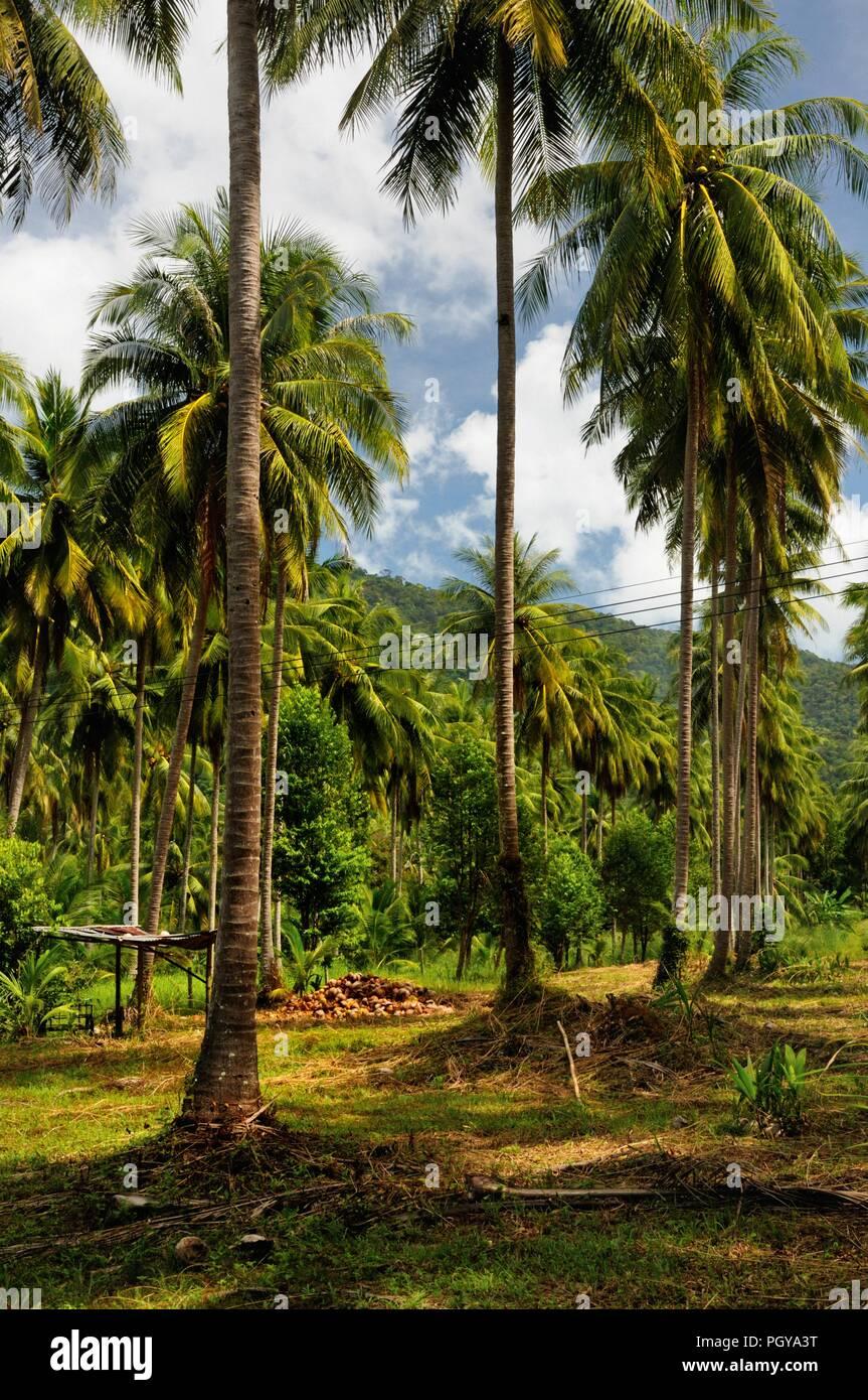 Coconut tree plantation, Koh Chang island, Thailand. - Stock Image