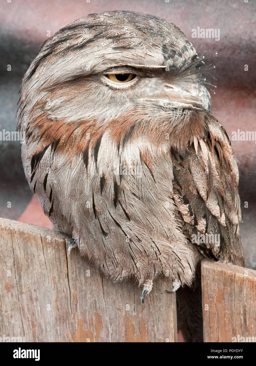 Tawny frogmouth (Podargus strigoides) perched on wodden fence Stock Photo