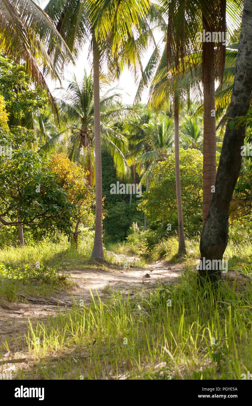 Lanscape - coconut palm tree - Thaïland Paysage - Cocotiers - Thaïlande - Stock Image