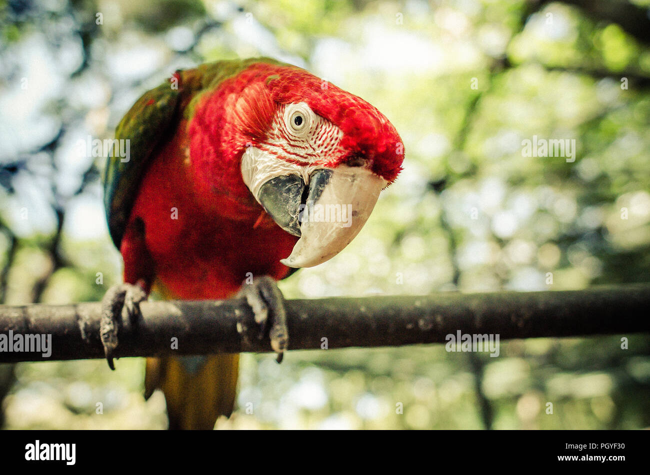Mauritius Red Parrot Stock Photo