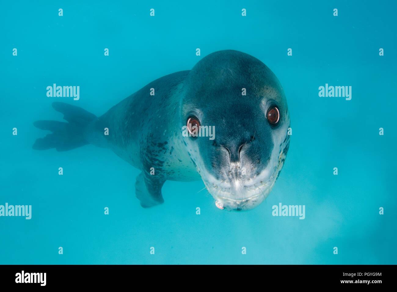 Leopard seal (Hydruga leptonyx), swimming underwater, Pleneau Island, Antarctic Peninsula, Antarctica Stock Photo