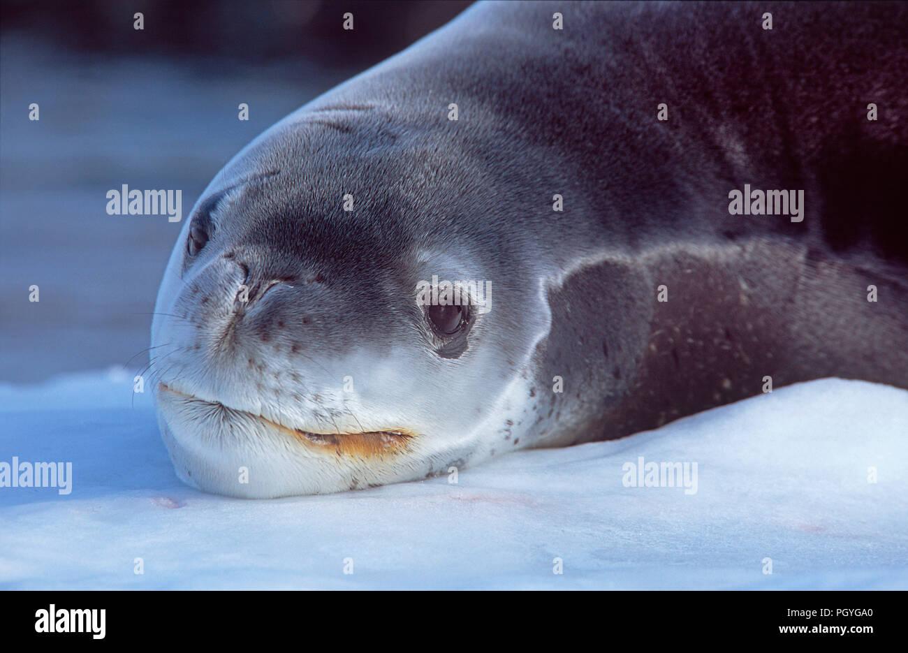Leopard seal (Hydruga leptonyx) resting on a ice floe, portrait, Argentine Islands, Antarctic Stock Photo