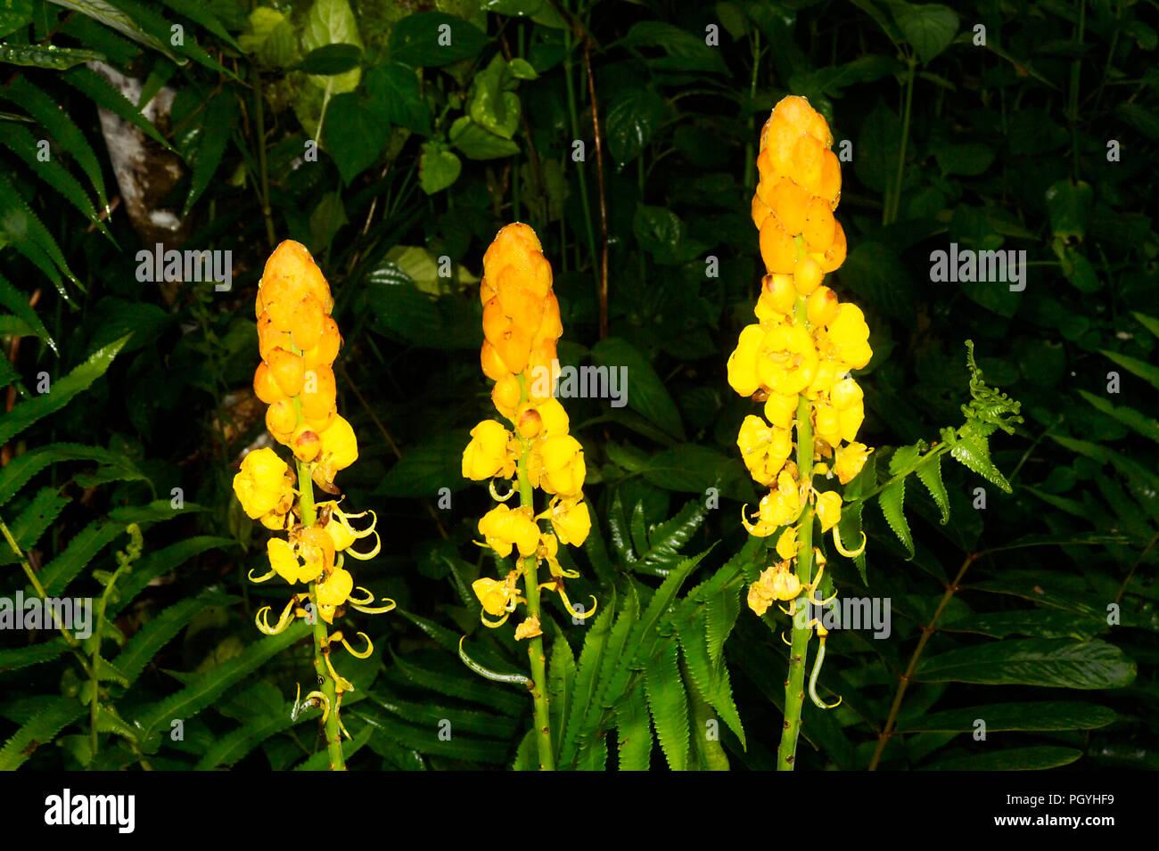 Seven Golden Candlestick (Cassia Alata), Tabin, near Lahad Datu, Borneo, Sabah, Malaysia - Stock Image