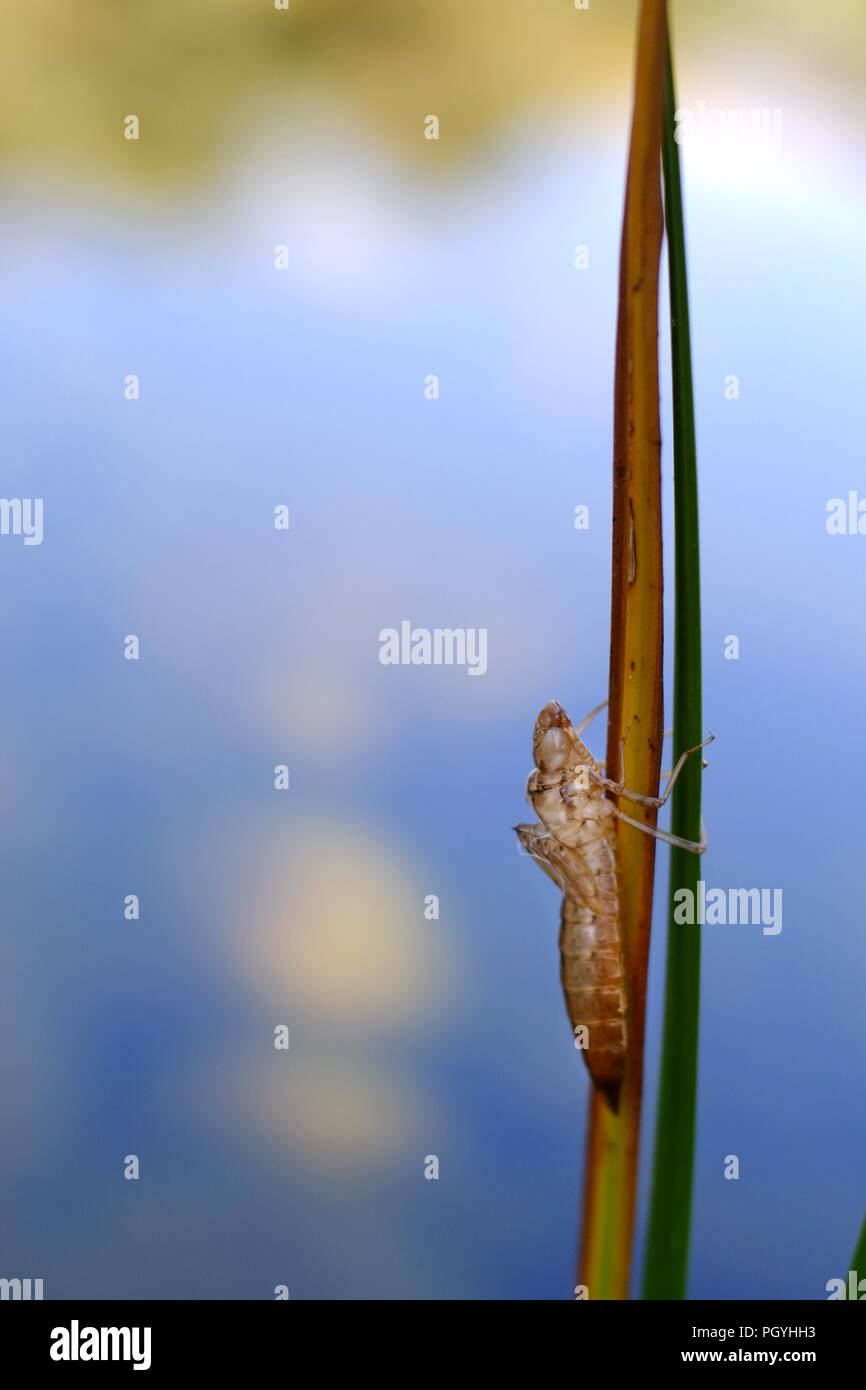 Empty dragonfly nymph casing. Stock Photo