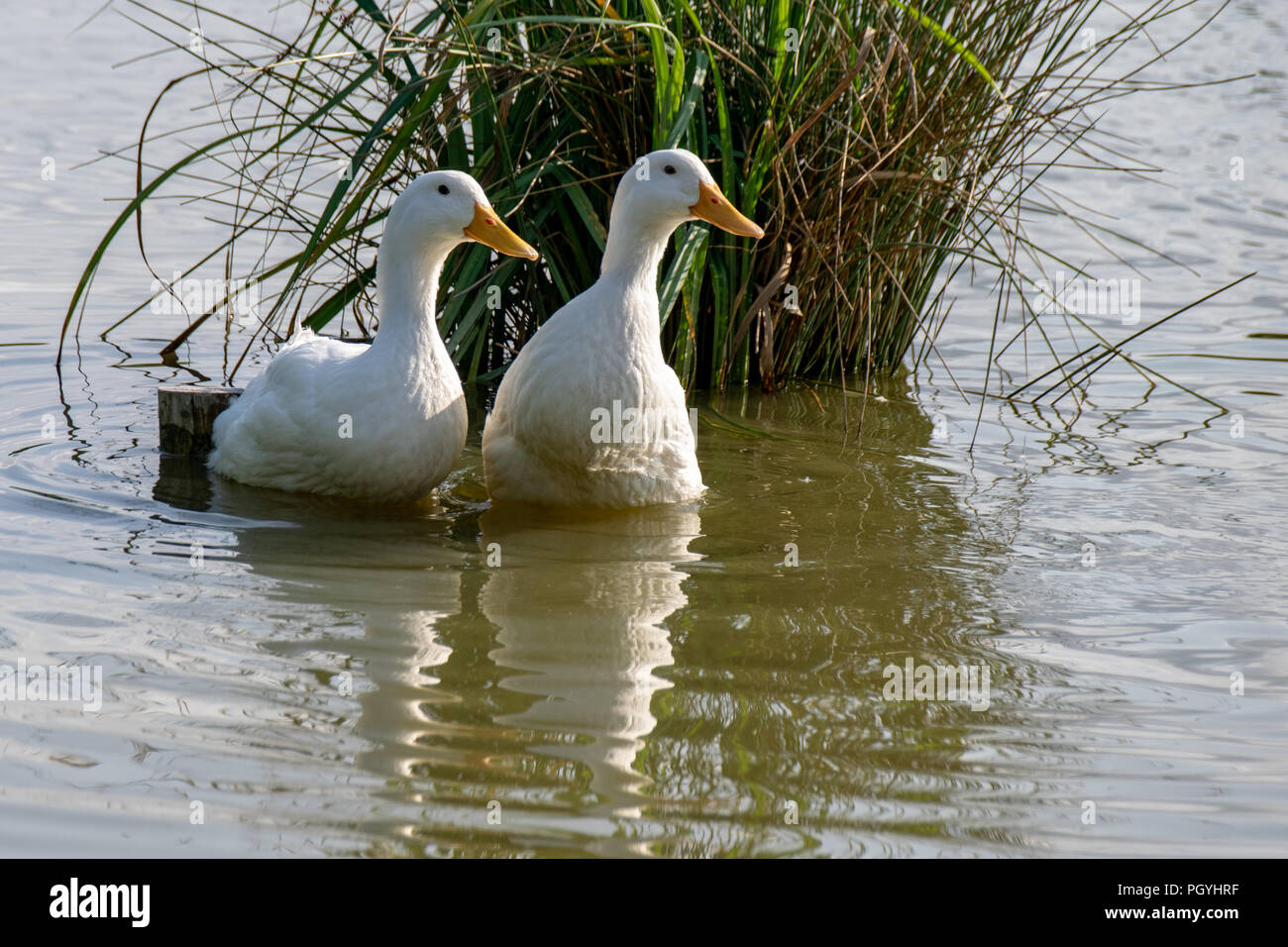 Two white pekin ducks (Anas platyrhynchos domesticus) - Stock Image