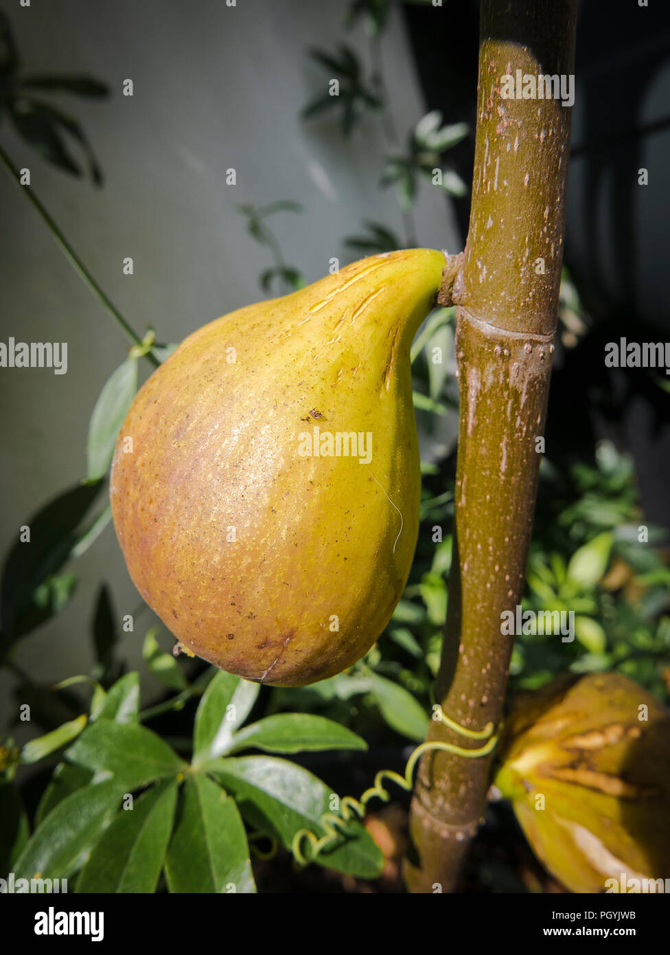 A ripe fig on a new young Ficus carica Brunswick tree in an English garden in August - Stock Image