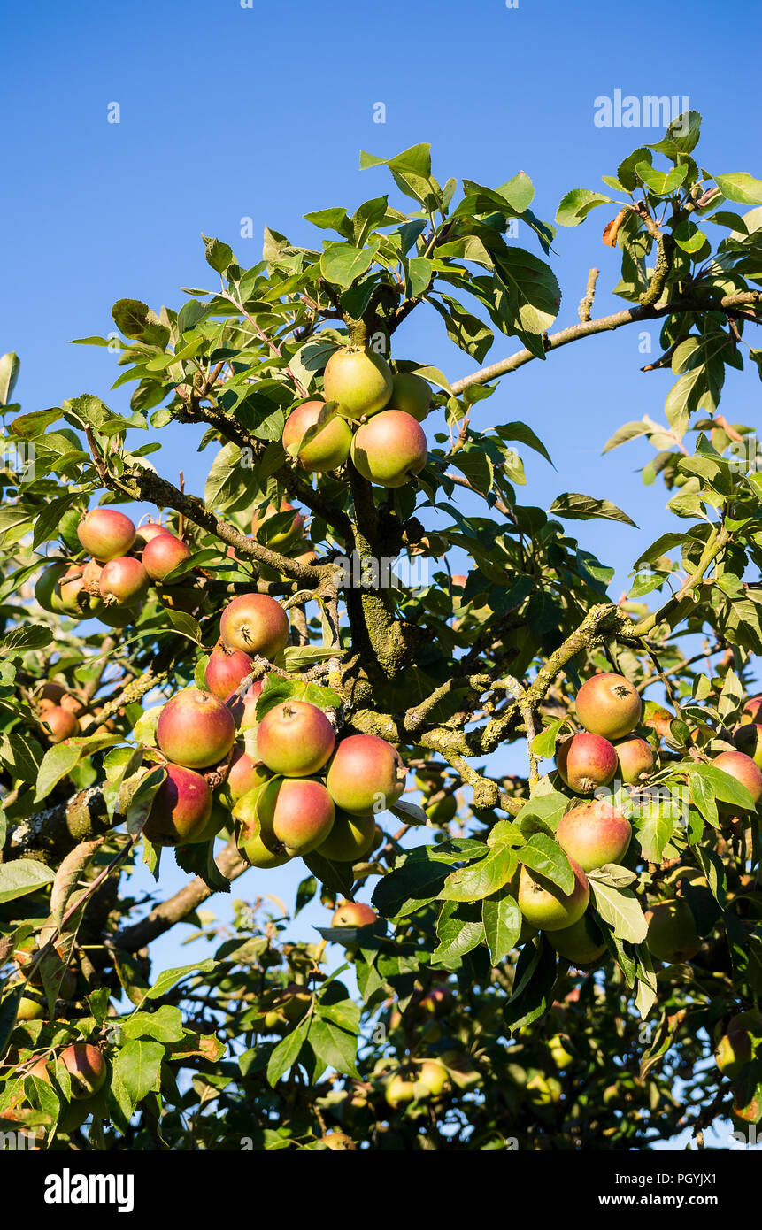 An old apple tree recovering after a period of prolonged drought and heat in summer in UK - Stock Image