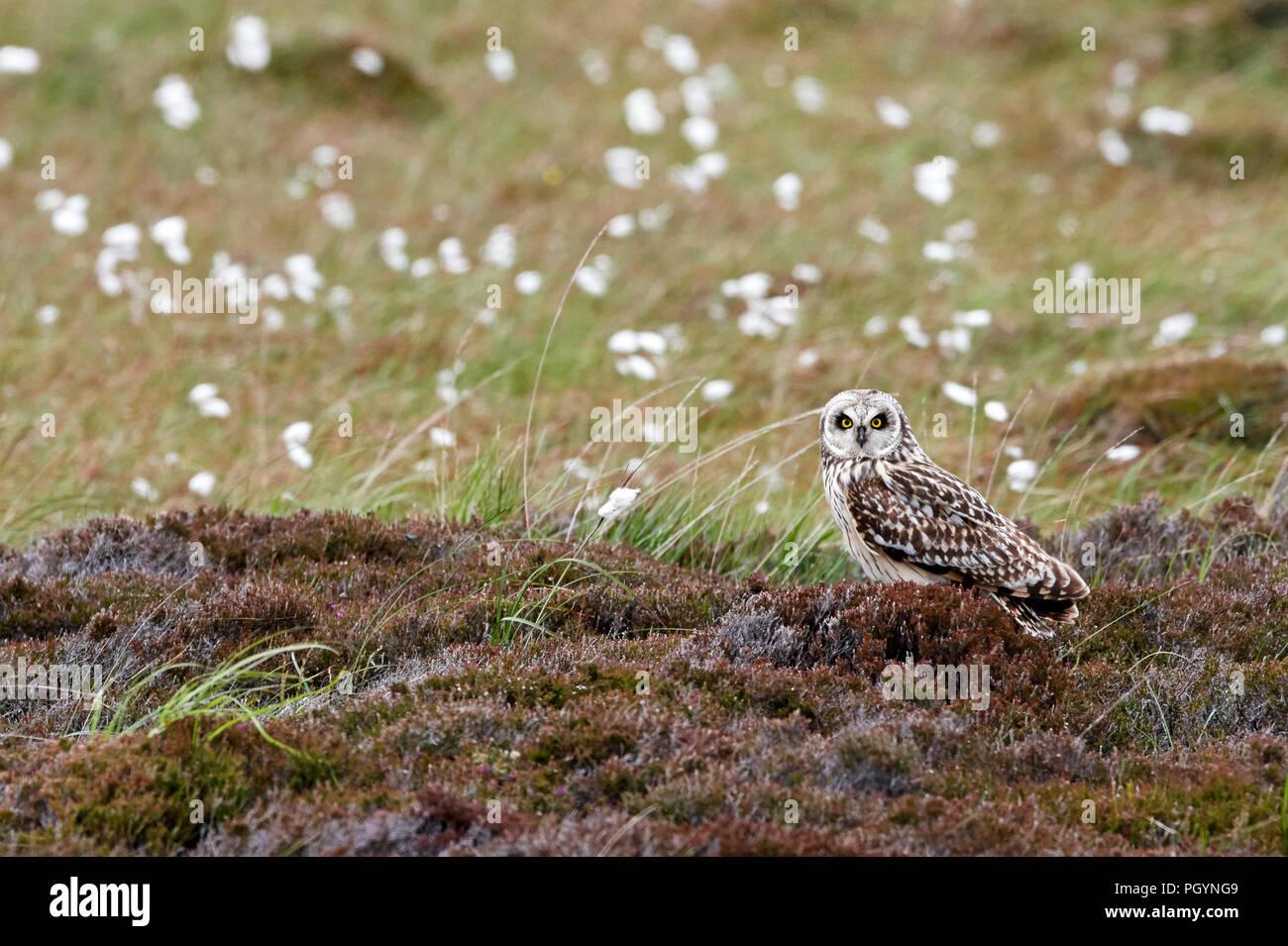 Short-eared owl, Aseo flammeius, UK - Stock Image