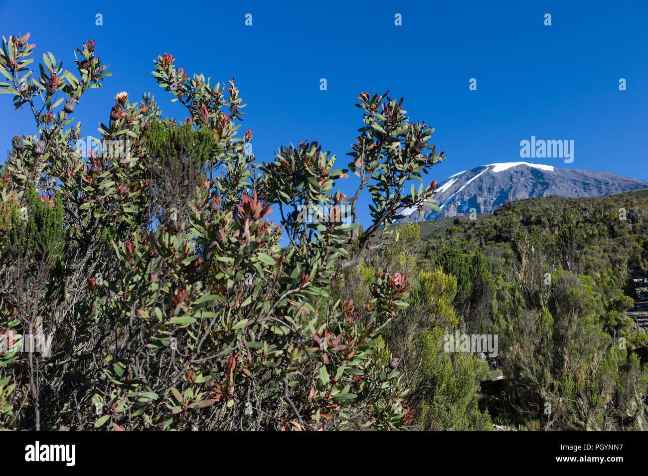Kilimanjaro Protea, Protea kilimandscharica, in front of Kibo Peak, Mount Kilimanjaro, Kilimanjaro Region, Tanzania. - Stock Image