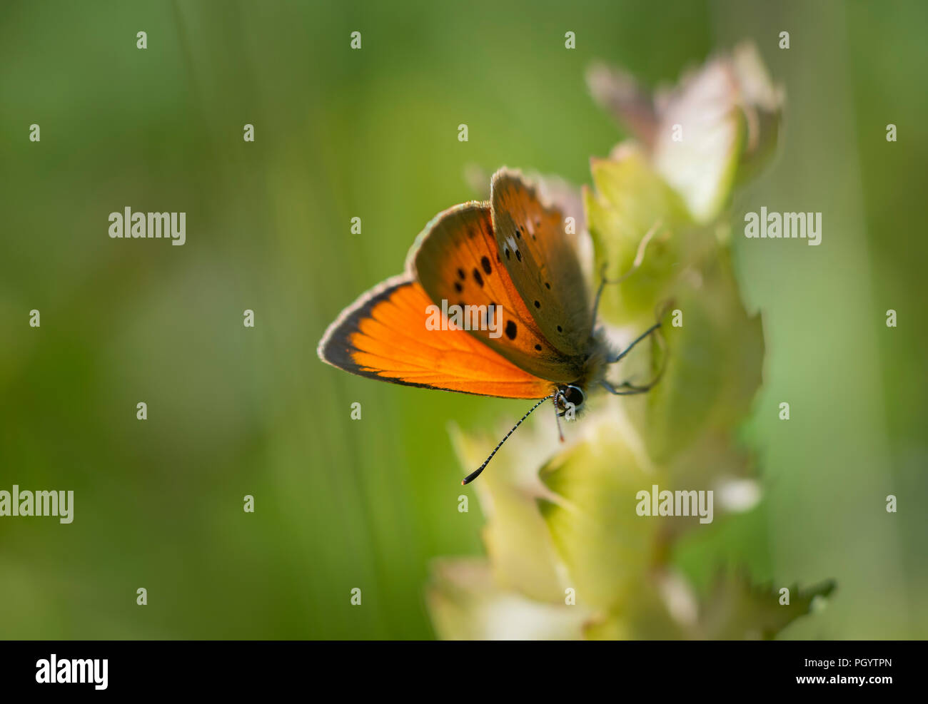 Lannaz insects Stock Photo