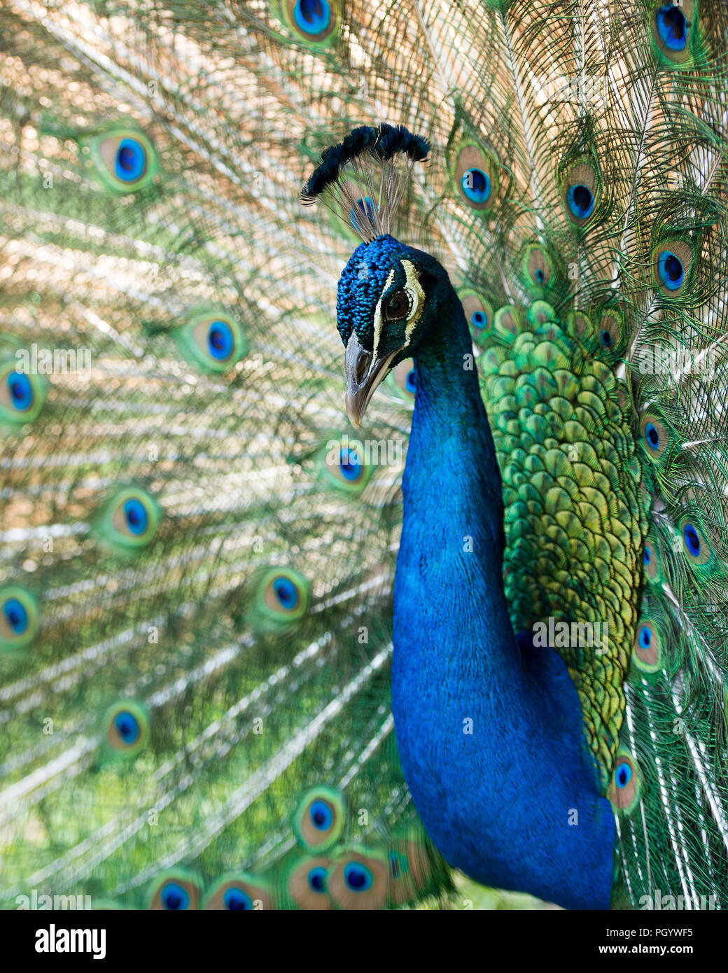 Peacock bird close up displaying its beautiful and colorful blue & green plumage tail with eyespots. Stock Photo