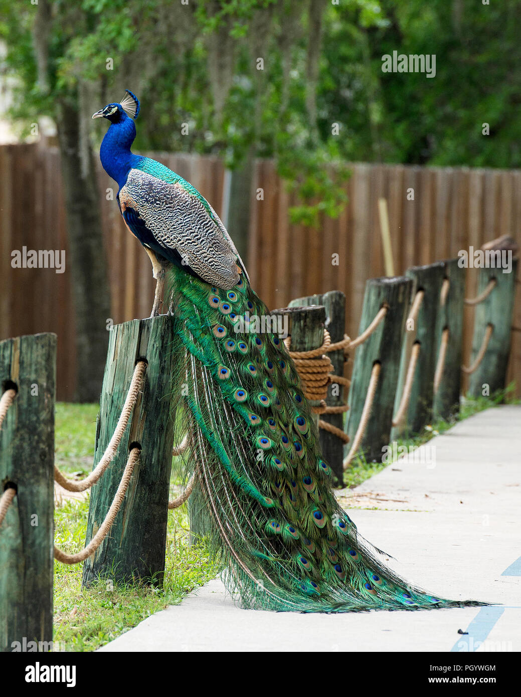 Peacock bird displaying its beautiful and colorful blue & green plumage tail with eyespots. Stock Photo